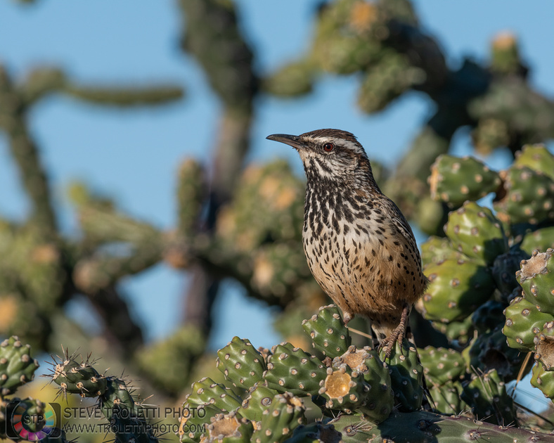 cactus wren /  Troglodyte des cactus 3