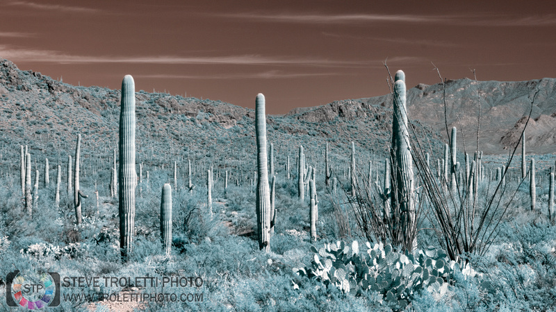 Saguaro Cactus - Arizona - INFRARED
