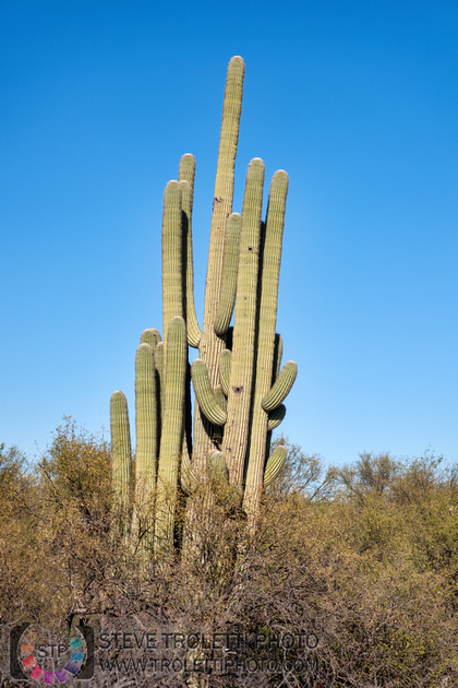 Saguaro Cactus Arizona
