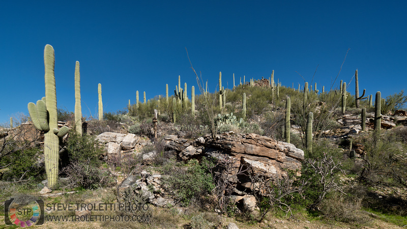 Saguaro Cactus Arizona